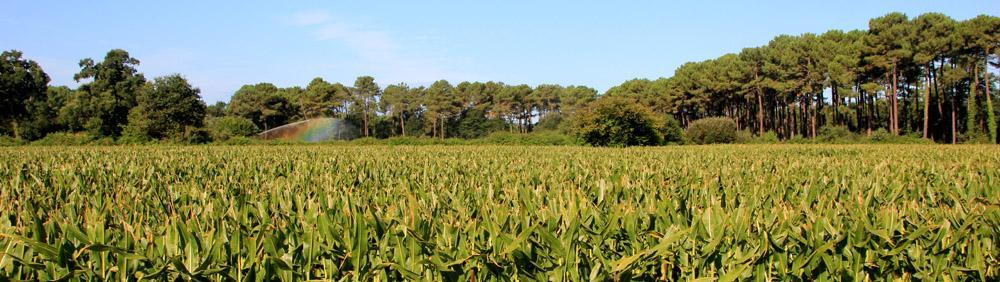 Corn field and pine tree forest surrounding the Natural Surf Lodge
